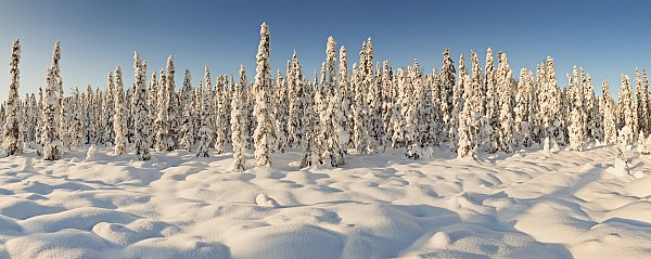 Panoramic View Of Snow-covered Spruce Print by Ray Bulson