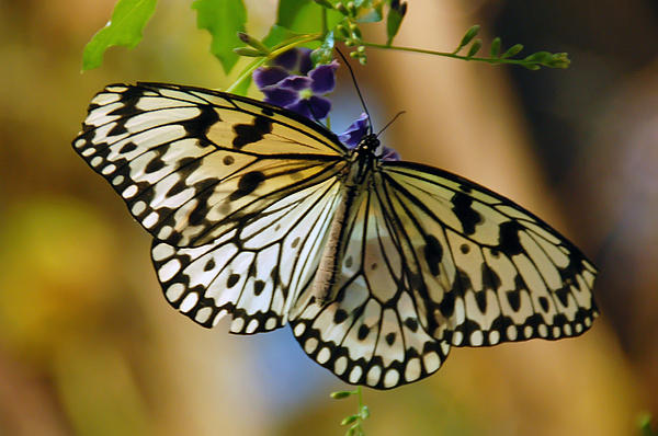 Aimee L Maher Photography and Art Visit ALMGallerydotcom - Paper Kite Butterfly