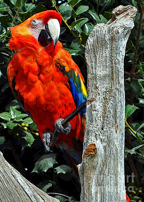 Lydia Holly - The Scarlet Macaw Parrot