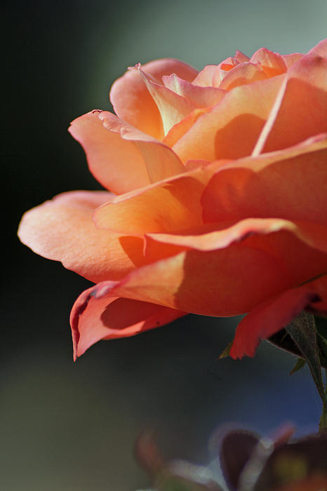 Partial Rose Print by Chris Anderson