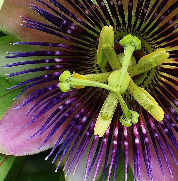 Passion Flower Up Close Print by Bruce Bley