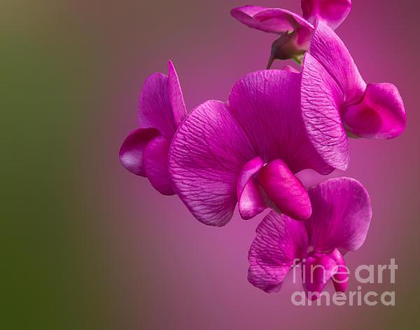 Arlene Carmel - Passionate Pink