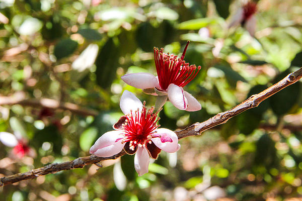 Passionfruit Guava Blossom Print by Nancy Heimstra