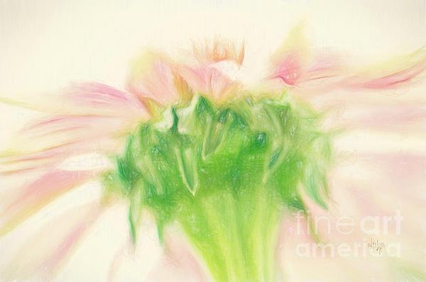 Lois Bryan - Pastel Pink Zinnia