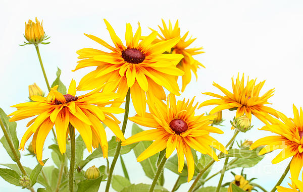 Patch Of Black-eyed Susan Print by Steve Augustin