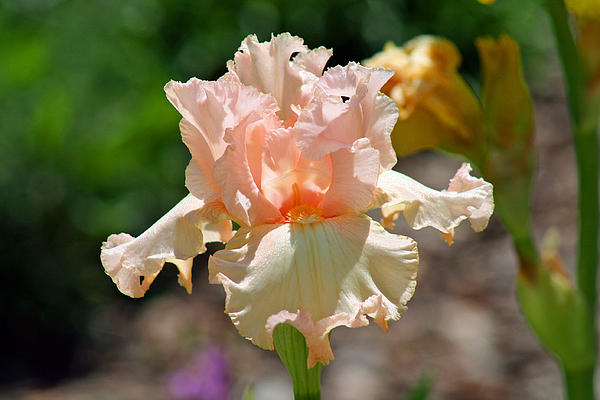 Peach-colored Iris Print by Karen Adams