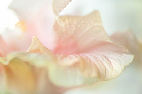 Peach Delicacy. Hibiscus Macro Print by Jenny Rainbow