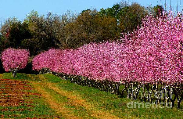 Peach Orchard In Carolina Print by Lydia Holly