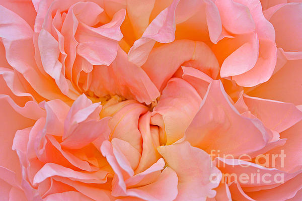 Regina Geoghan - Peach Ruffled Rose
