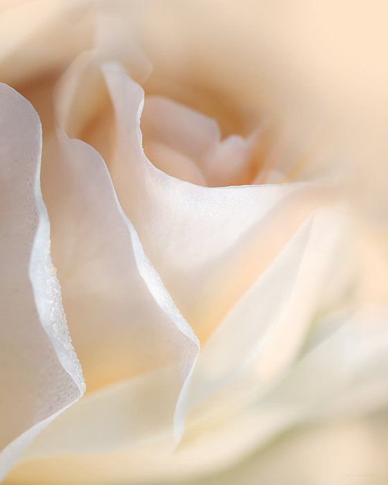 Peaches And Cream Rose Flower Print by Jennie Marie Schell