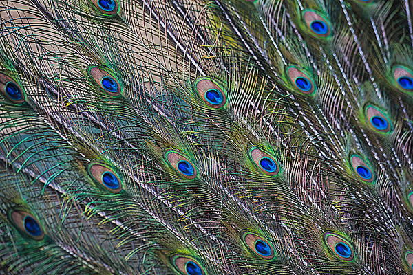 Peacock Feathers Abstract Print by Eti Reid