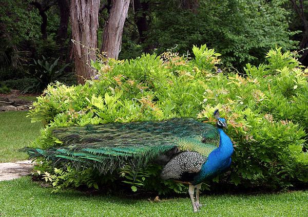 Peacock In Austin Garden Print by Linda Phelps