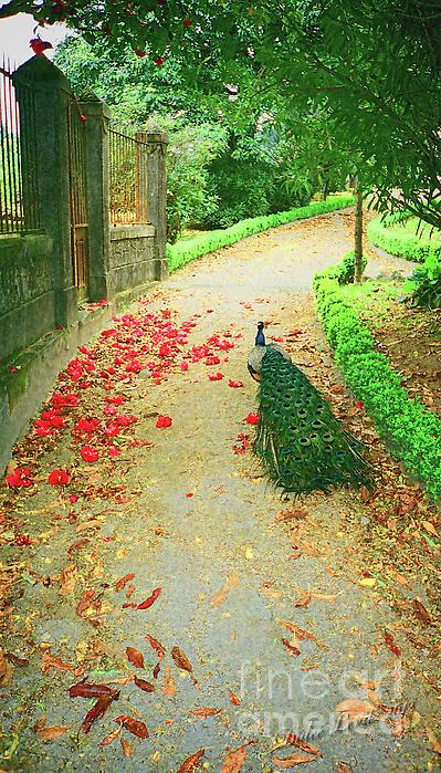Peacock Path A Print by Dulce Levitz