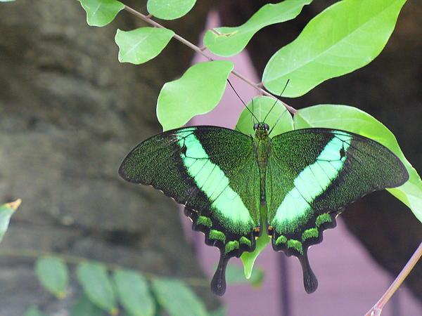 Lingfai Leung - Peacock Swallowtail