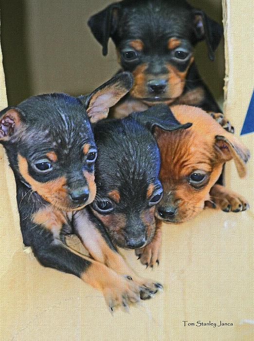 Peanuts Puppies 4 Of 5 Print by Tom Janca