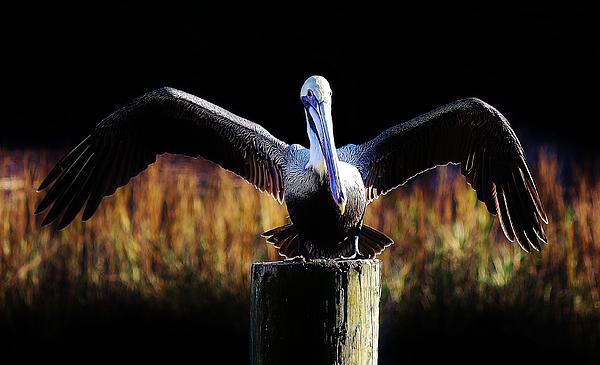Pelican All Aglow Print by Paulette Thomas