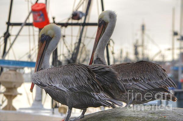 Pelican Duo Print by Donna Van Vlack