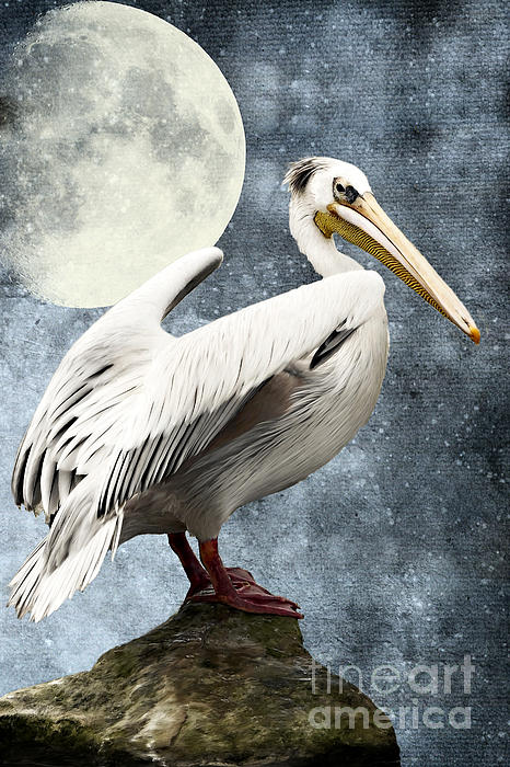 Pelican Night Print by Angela Doelling AD DESIGN Photo and PhotoArt