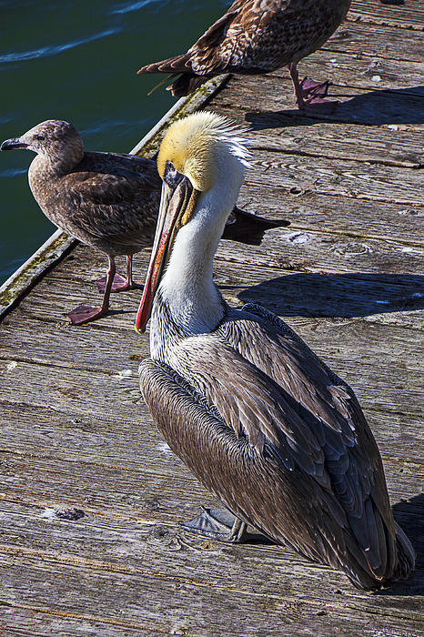 Pelican On Dock Print by Garry Gay