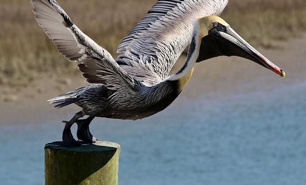Pelican On His Tip Toes Print by Paulette Thomas