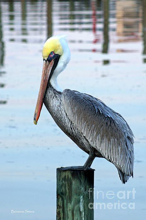 Pelican Perch Print by Benanne Stiens