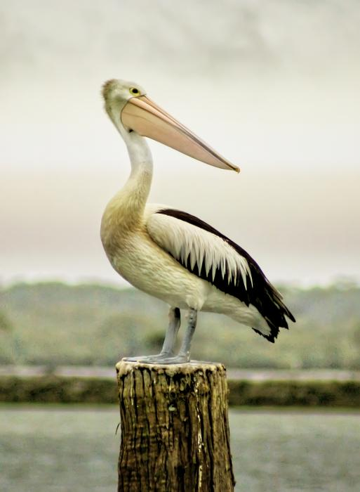 Pelican Poise Print by Holly Kempe