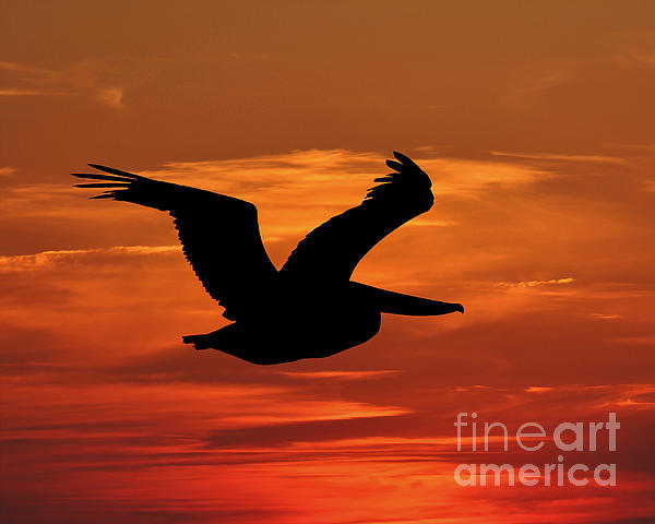 Pelican Profile Print by Al Powell Photography USA