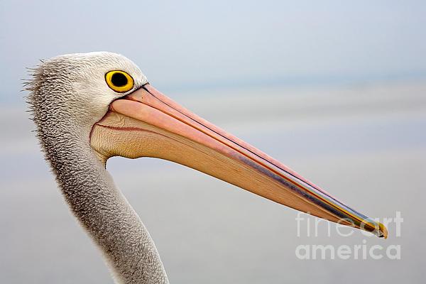 Pelican Profile Print by Mike  Dawson