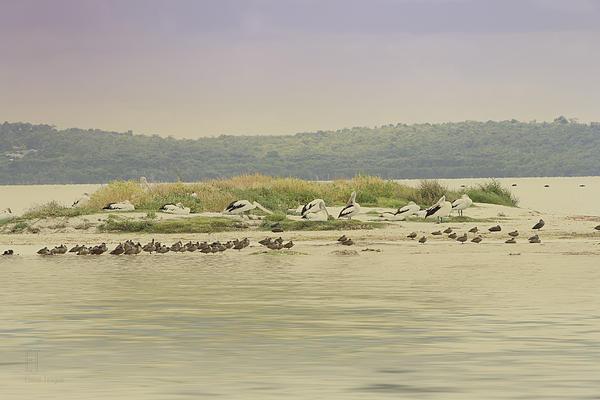 Pelicans At Poddy Shot Print by Elaine Teague