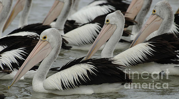 Pelicans Galore Print by Bob Christopher
