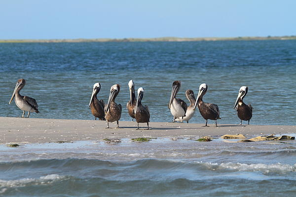 Pelicans Of Bird Island 7 Print by Cathy Lindsey