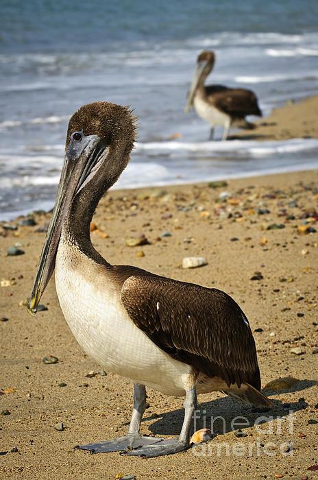 Pelicans On Beach In Mexico Print by Elena Elisseeva