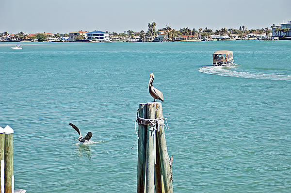 Aimee L Maher Photography and Art - Pelicans Rule