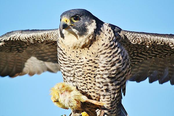 Peregrine Falcon With Chicken For Dinner Print by Paulette Thomas