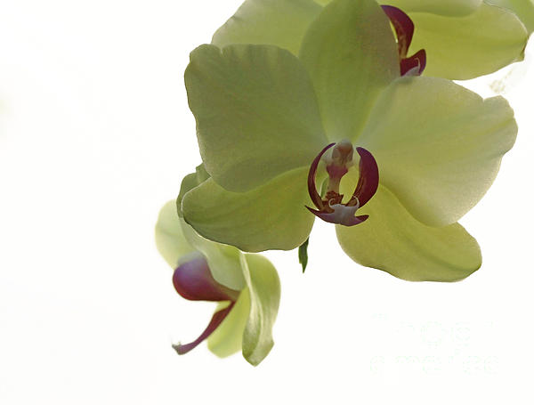 Perfect Moments Orchid  Print by Inspired Nature Photography By Shelley Myke