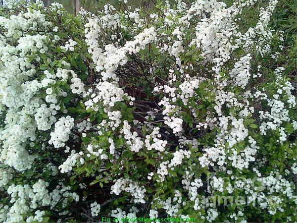 Perfect White Spring Blossoms Print by PainterArtist FIN