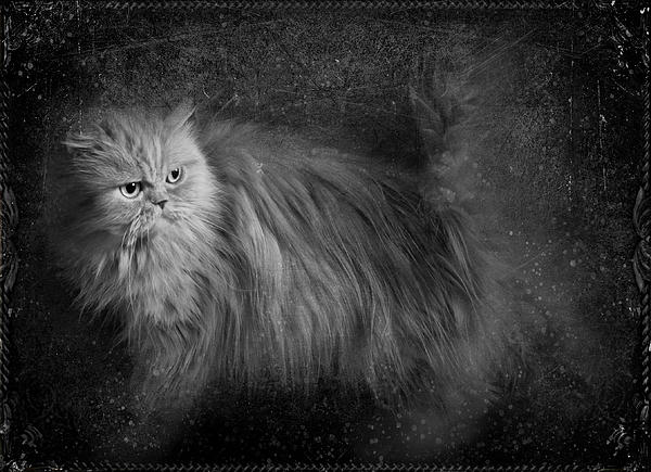 Persian Cat  Print by Ivelina  Aasen