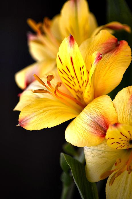 Deb Halloran - Peruvian Lily