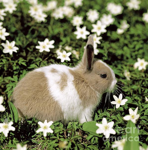 Pet Rabbit Print by Hans Reinhard/Okapia
