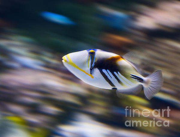 Picasso - Lagoon Triggerfish Rhinecanthus Aculeatus Print by Jamie Pham
