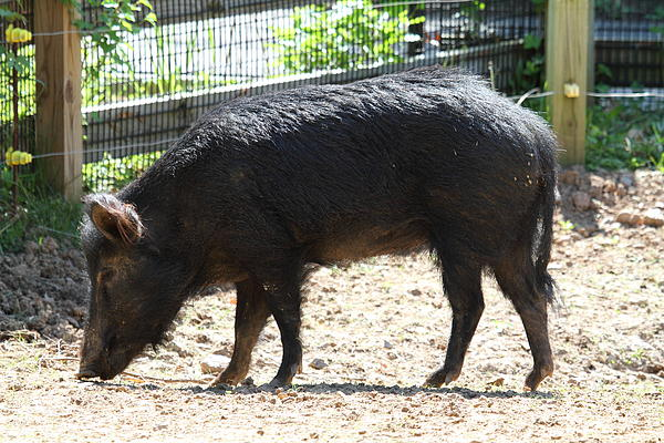 Pig - National Zoo - 01131 Print by DC Photographer