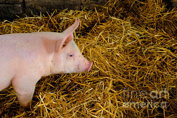 Pig Standing In Hay Print by Amy Cicconi