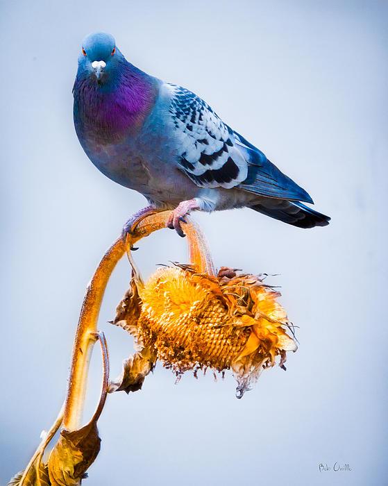 Pigeon On Sunflower Print by Bob Orsillo