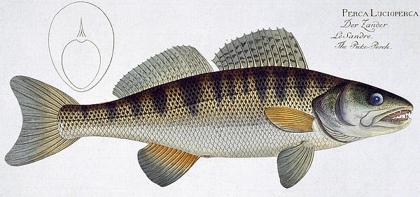 Pike Perch Print by Andreas Ludwig Kruger