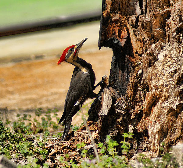 Rick Friedle - Pileated Woodpecker