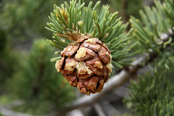 Christiane Schulze Art And Photography - Pine Cone