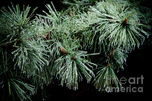 Pine Needles In Ice Print by Betty LaRue