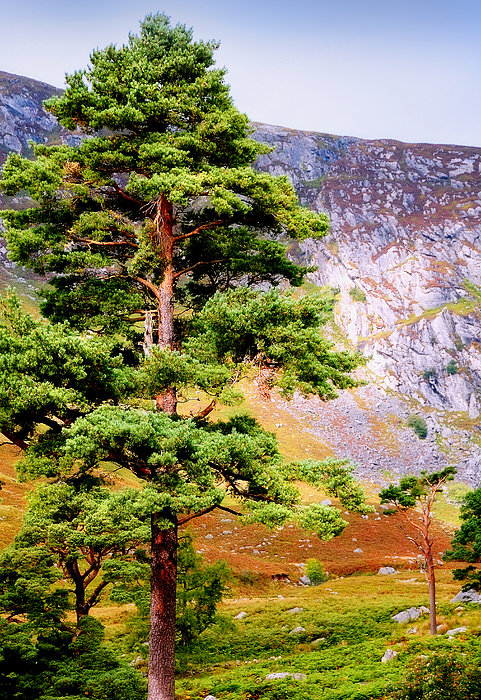 Pine Tree In Wicklow Hills. Ireland Print by Jenny Rainbow