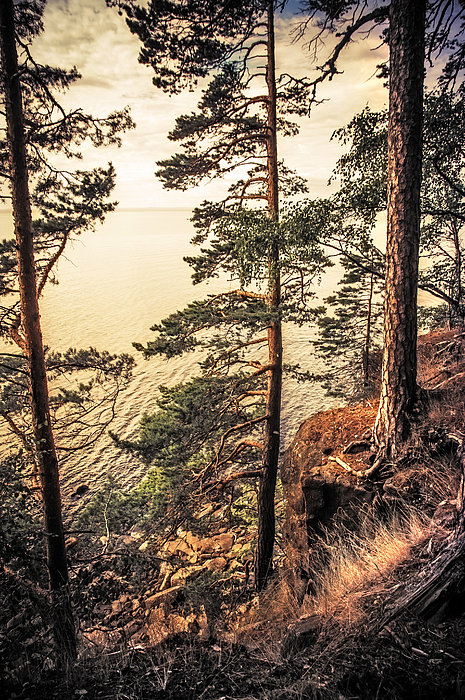 Pine Trees Of Holy Island Print by Jenny Rainbow
