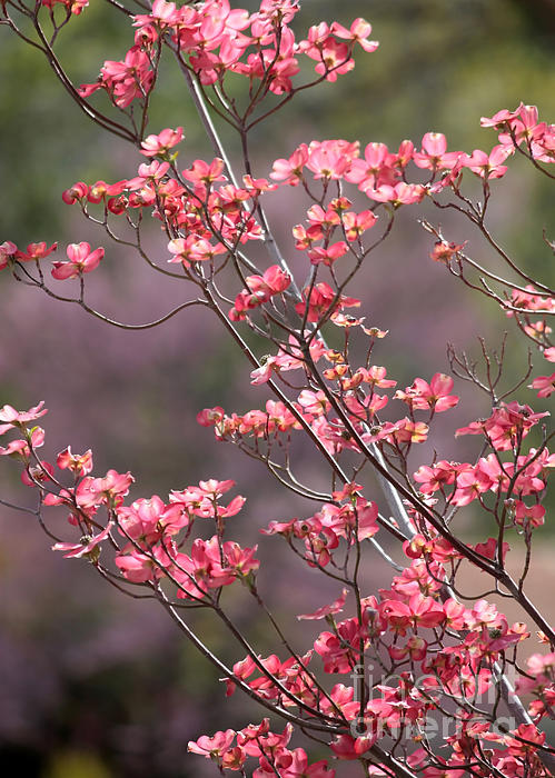 Pink And Purple Spring Trees Print by Carol Groenen